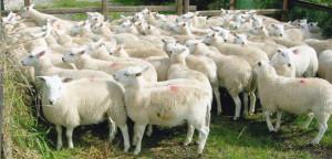 easycare_lambs_pen
